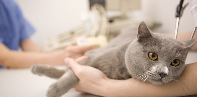 Fip in cats natural treatment